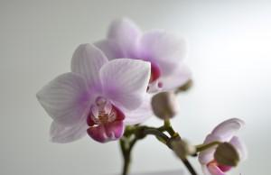 マイクロ胡蝶蘭4