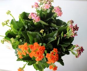4色植えカランコエ2