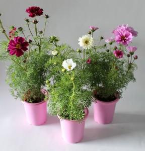 八重咲きコスモス