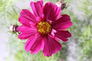 八重咲きコスモス2