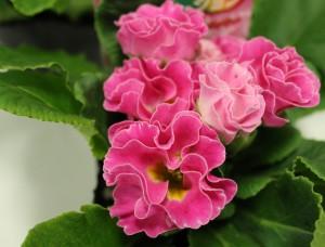 バラ咲きプリムラ2