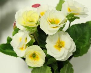 バラ咲きプリムラ3
