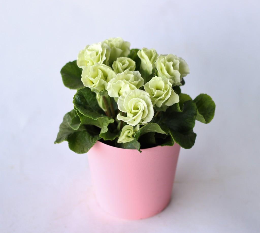 バラ咲きジュリアン5