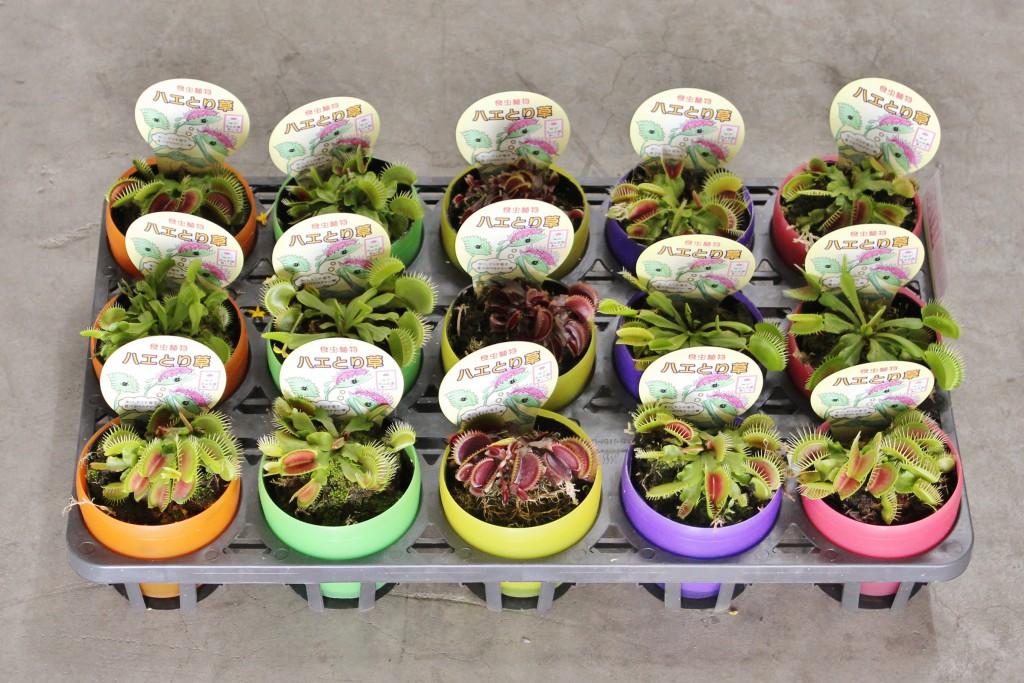 食虫植物ハエとり草
