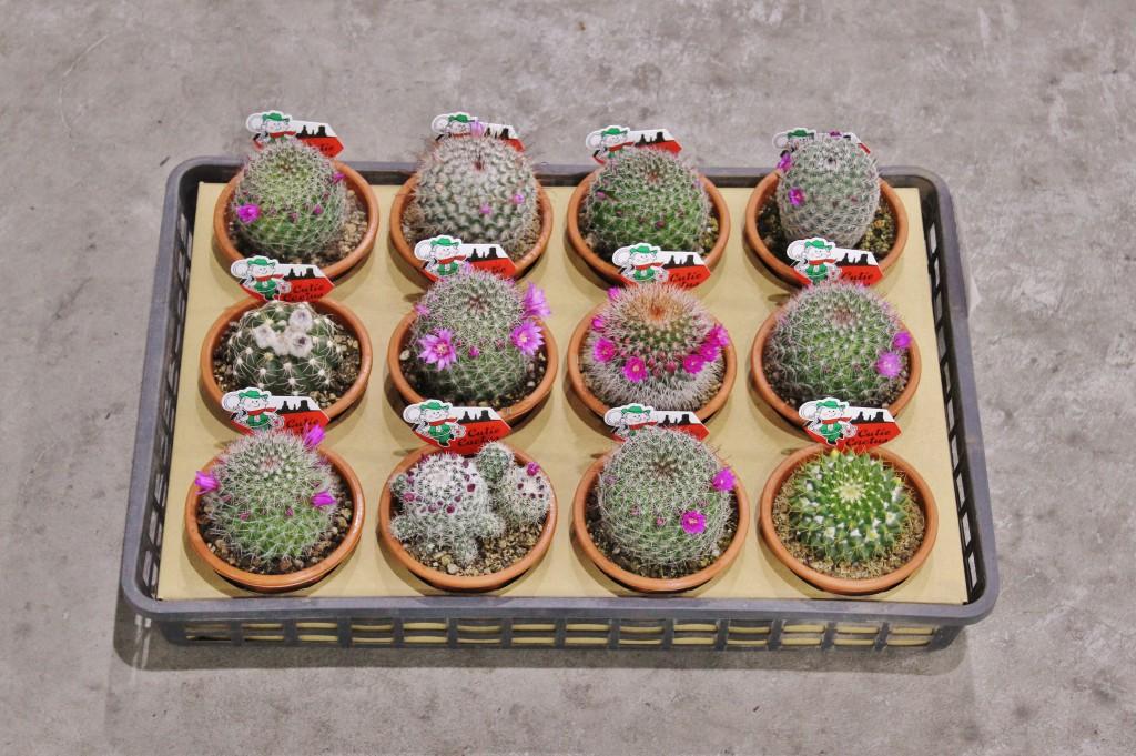 花付きサボテン
